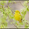 Yellow Warbler in Willows