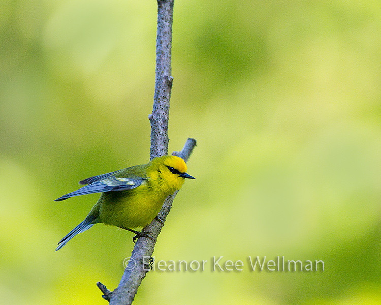 Blue-winged Warbler, Male, Wings Raised