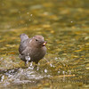 American Dipper with fly case