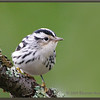 Black & White Warbler, Fall Female