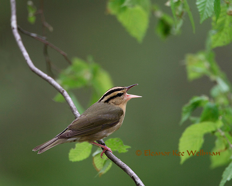 Worm-eating Warbler, Male, Breeding plumage, Singing