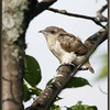 Black-billed Cuckoo Branching Chick