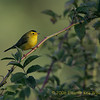 Wilson's Warbler, Fall Male