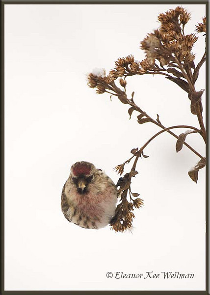 Common Redpoll on Stiff Goldenrod