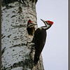 Pileated Woodpecker with Young at Nest Hole