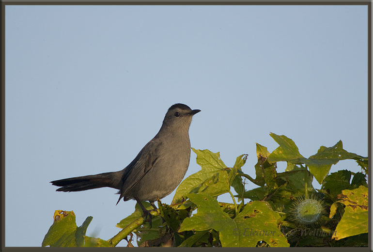 Gray Catbird on Wild Grape