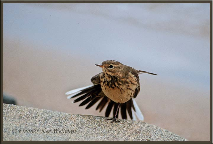 American Pipit Stretching