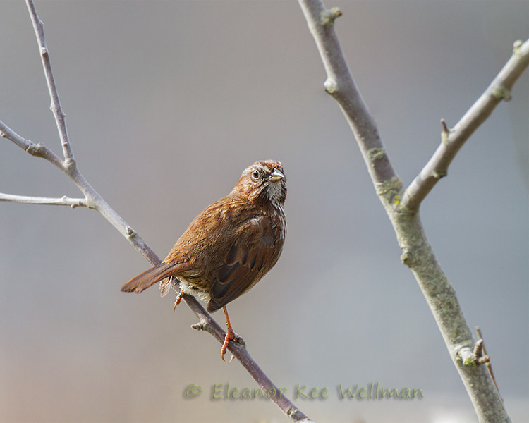Song Sparrow, Pacific Northwest