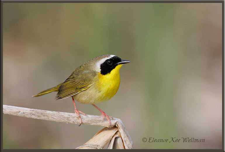 Common Yellowthroat, Spring Male