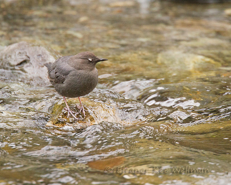 American Dipper showing white eyelid