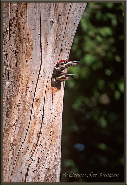 Pileated Woodpecker Young in Nest Hole