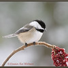 Black-capped Chickadee on Sumach