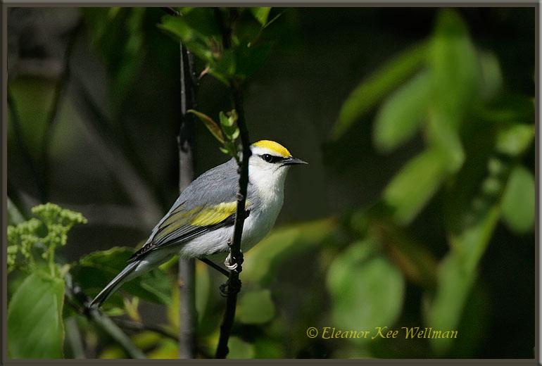 Brewsters Warbler, female