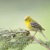 Pine Warbler, Male, Breeding Plumage, spruce