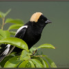Bobolink, Spring Male