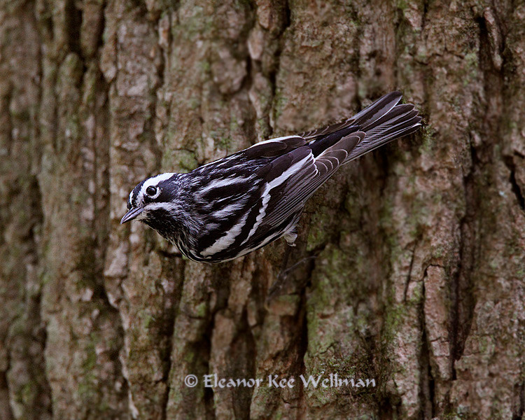 Black & White Warbler - Male