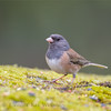 Oregon Junco, Female