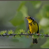 Canada Warbler, Male, on Tamarack