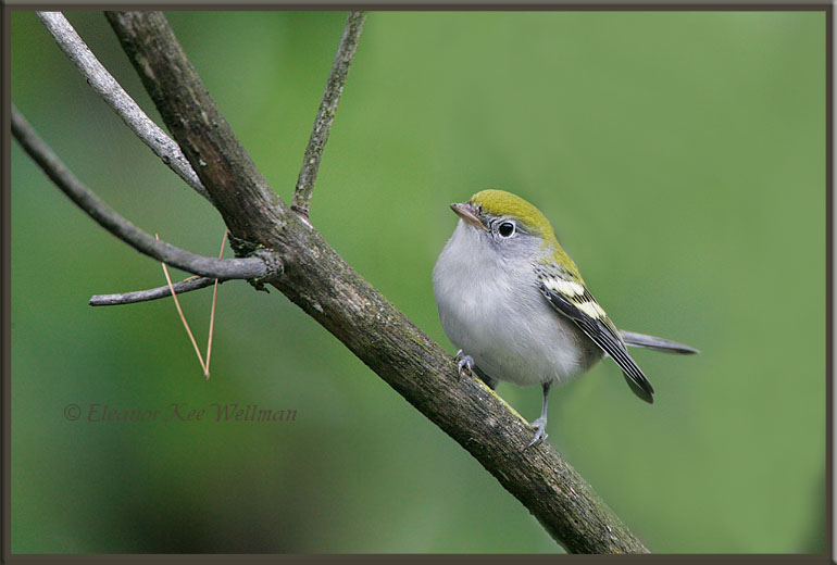 Chestnut-sided Warbler, Fall Juvenile
