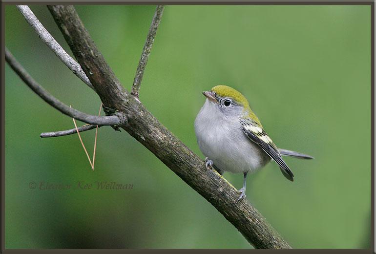 Chestnut-sided Warbler, Fall Juvenile