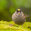 Golden-crowned Sparrow eating seeds