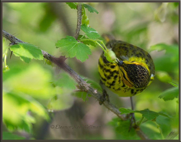 Cape May Warbler and Current Bush