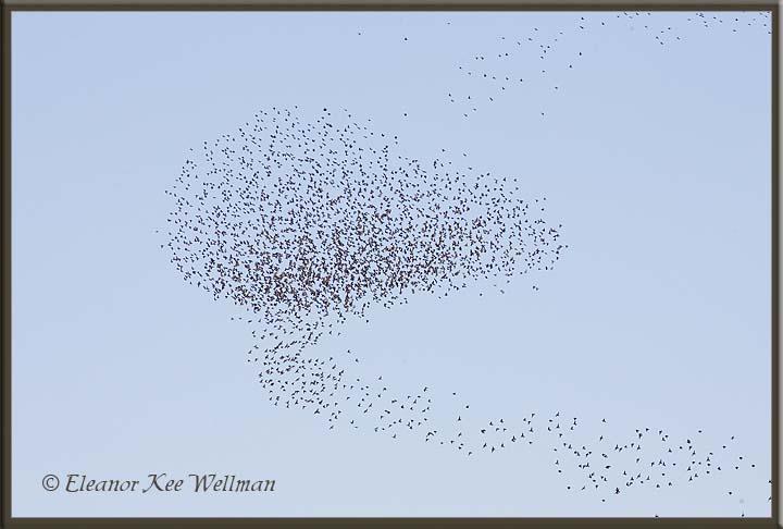Blackbirds -  Moving Flock