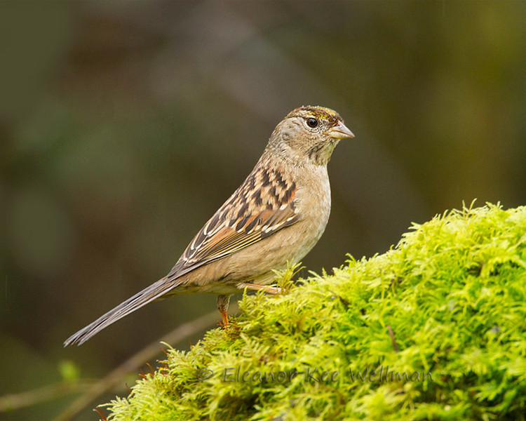 Goldlen-crowned Sparrow