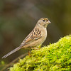 Goldlen-crowned Sparrow