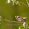 Chestnut-sided Warbler, Male, Perched