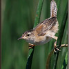 Sedge Wren on Rushes