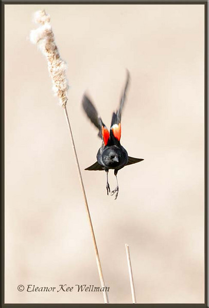 Red-winged Blackbird Flying In