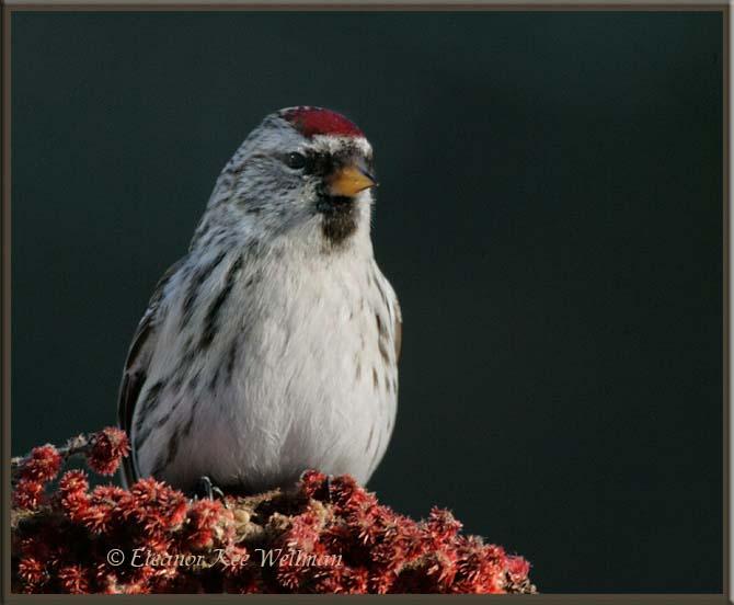 Common Redpoll on Sumach
