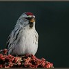 Common Redpoll on Sumach