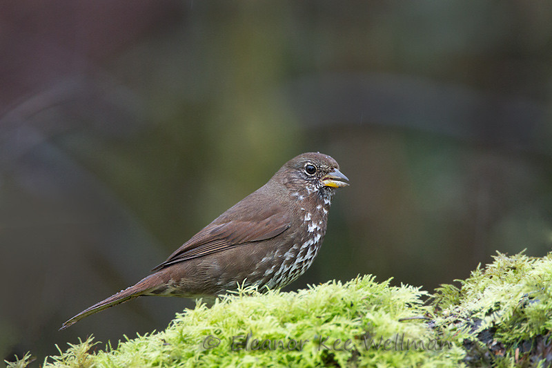 Fox Sparrow, Sooty (Pacific) Darker Adult