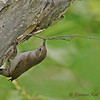 House Wren Adding Stick to Nest.