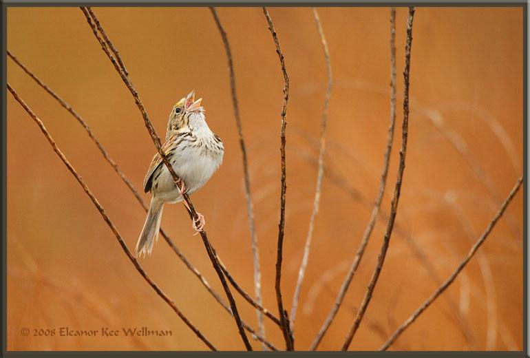 Henslow's Sparrow Singing