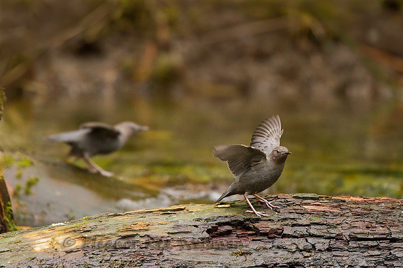 American Dippers Displaying