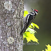 Yellow-bellied Sapsucker, Adult in Maple