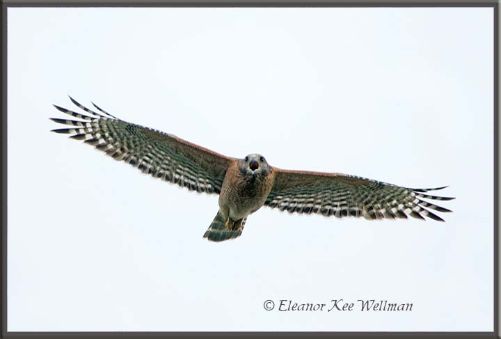 Red-shouldered Hawk in Flight, Florida