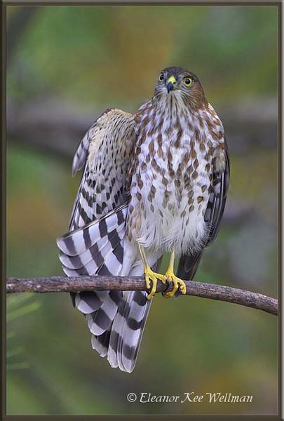 Sharp-shinned Hawk,first year.