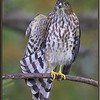 Sharp-shinned Hawk,first year.