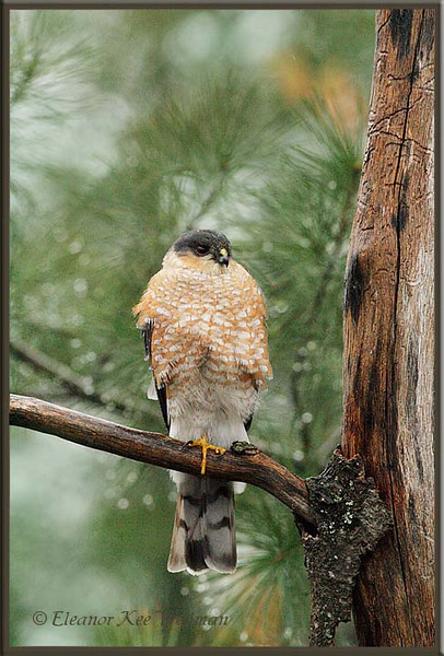 Sharp-shinned Hawk Perched, Adult.