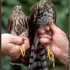 Sharp-shinned Hawk, male and female, juveniles, banded.