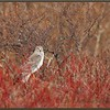Northern Harrier Male in Dogwood