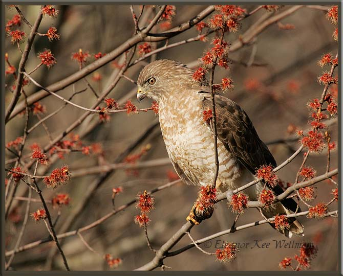 Broad-winged Hawk in Maple
