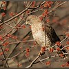 Broad-winged Hawk in Maple