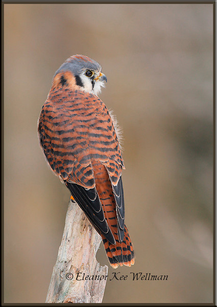 American Kestrel on Snag.  Captive