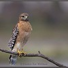Red-shouldered Hawk, Florida
