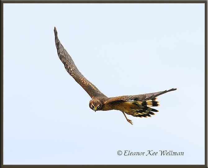 Northern Harrier Juvenile Turning